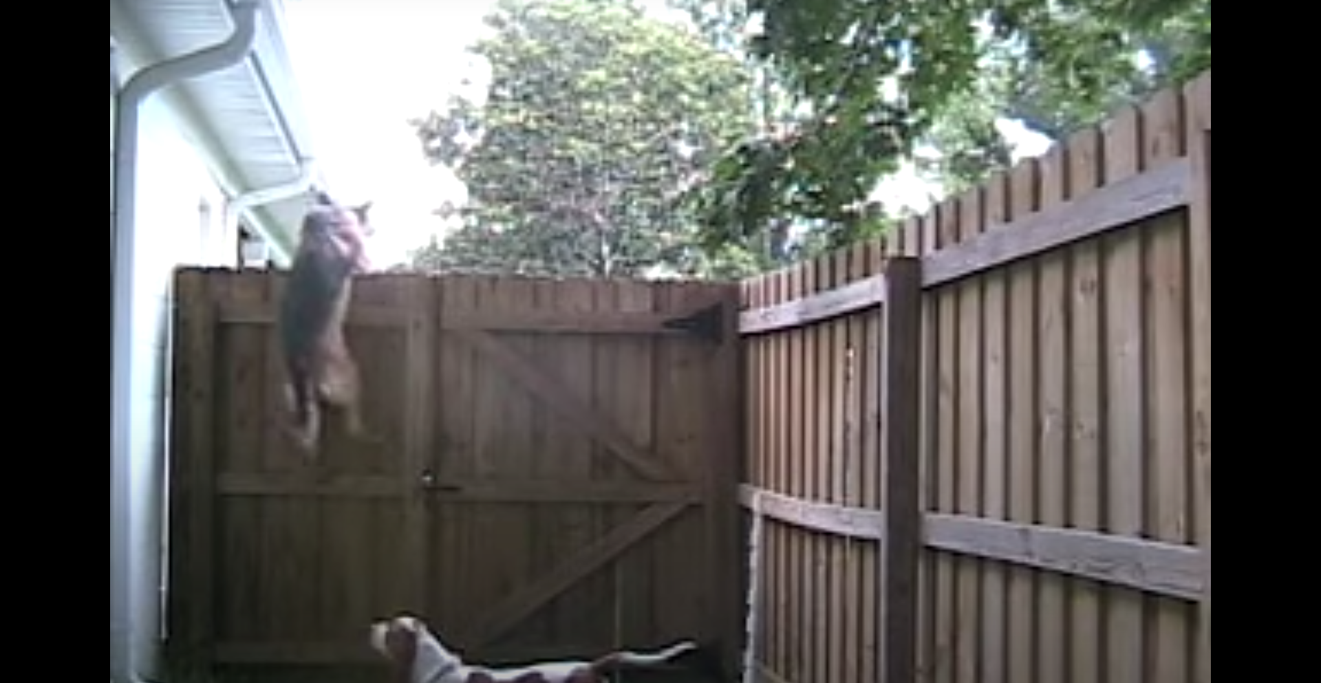 You are currently viewing Amazing Fence Climbing Dogs