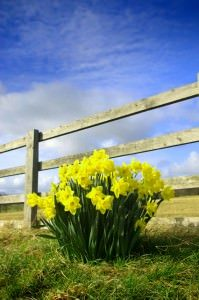 Wood fence with yellow flowers
