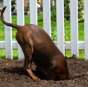 Digging Dog