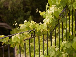 Vines growing on fence