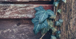 ivy growing on a wooden fence
