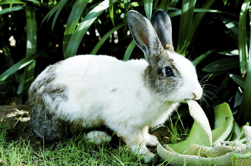 Cute fluffy Rabbit attempting to eat vegetables