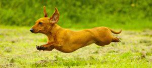 Brown Dachshund running